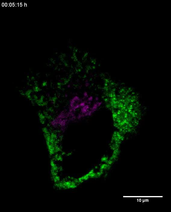 ER-to-Golgi trafficking of procollagen in the absence of