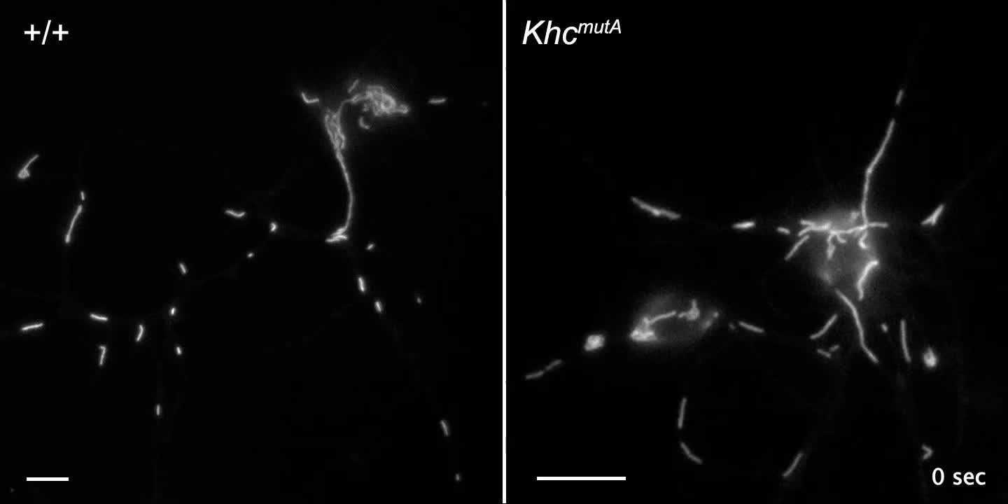 Role Of Kinesin 1based Microtubule Sliding In Drosophila Nervous 7 Pin Wiring Harness 2002 S10 System Development Pnas