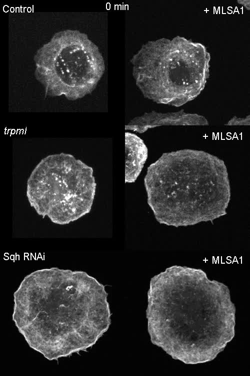 Trpml controls actomyosin contractility and couples migration to ...