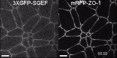 SGEF forms a complex with Scribble and Dlg1 and regulates ...