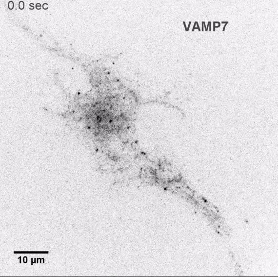 Spatiotemporal organization of exocytosis emerges during neuronal ...