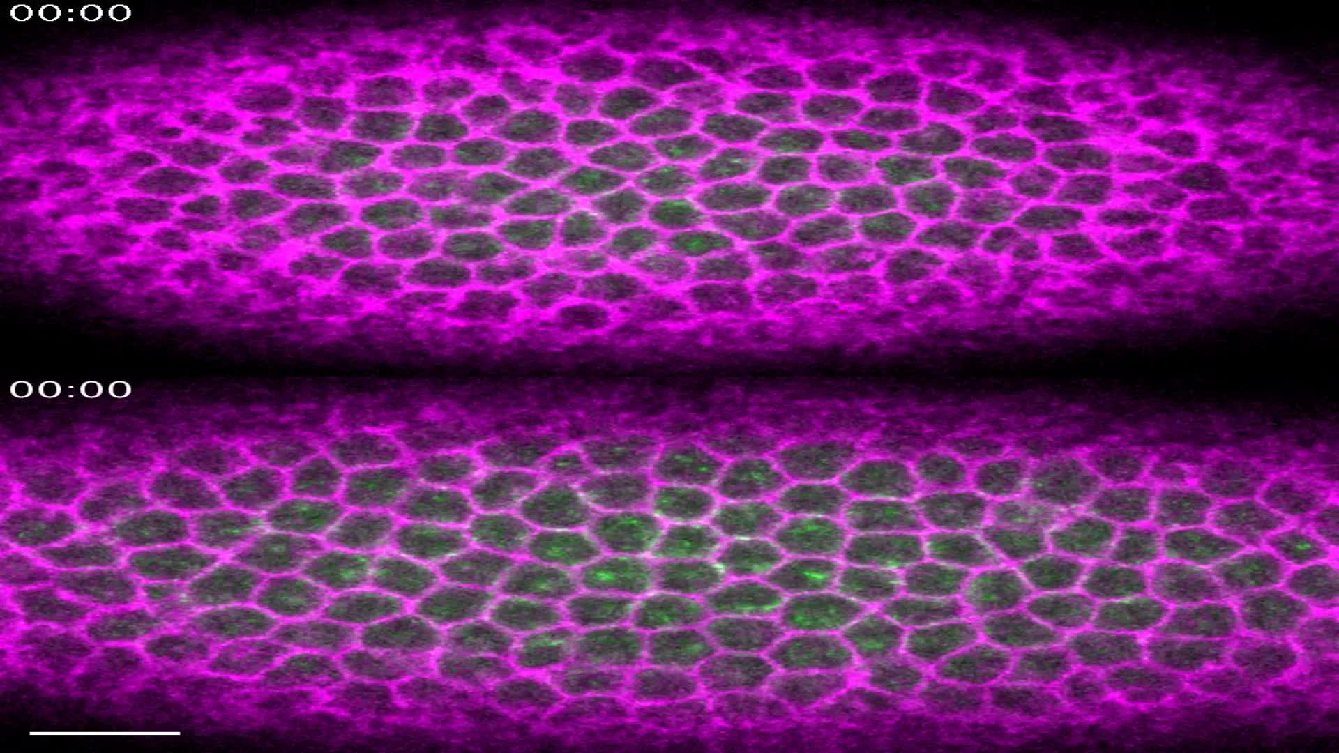 Microtubules promote intercellular contractile force transmission ...