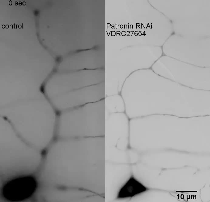 Patronin-mediated minus end growth is required for dendritic ...
