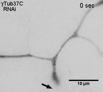 The microtubule-severing protein fidgetin acts after dendrite injury