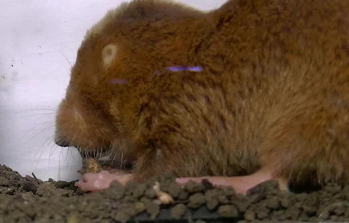 Kinematics Of Chisel Tooth Digging By African Mole Rats Journal Of Experimental Biology