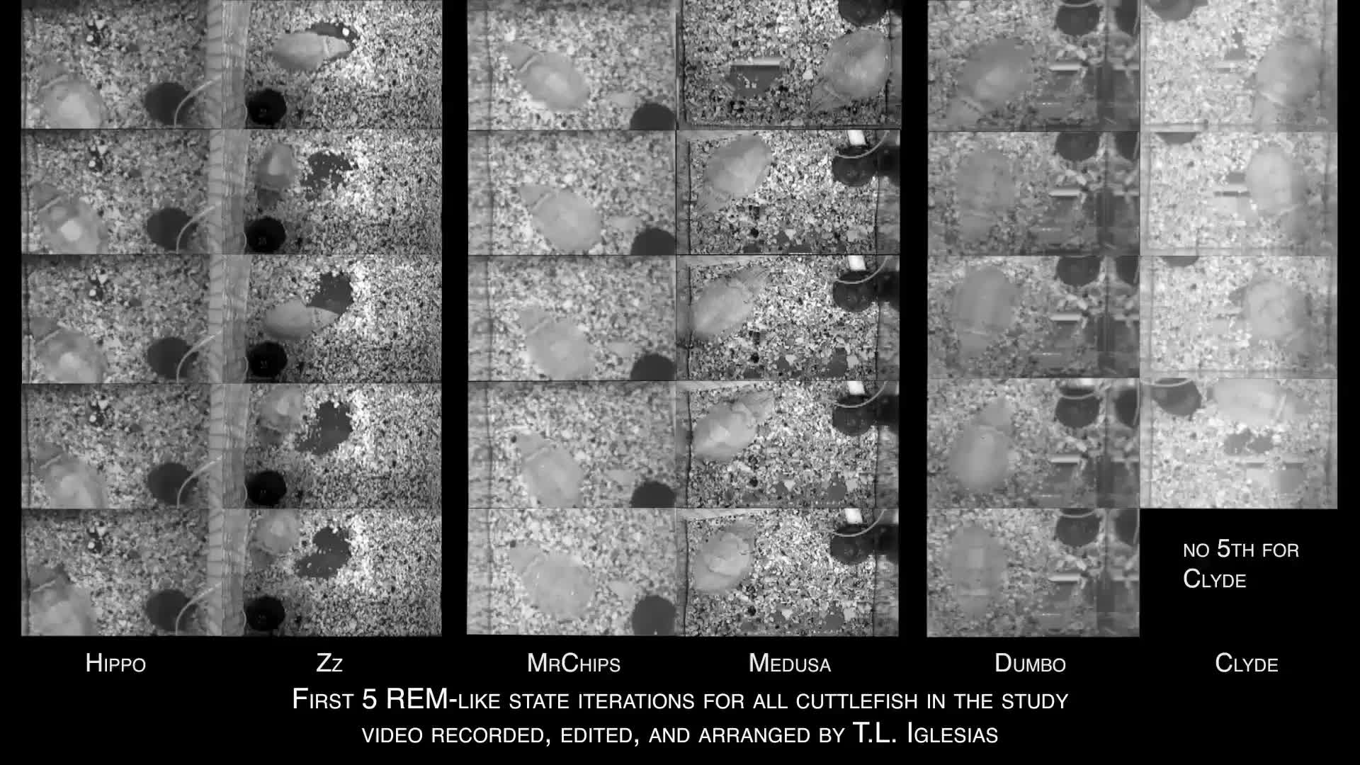 Cyclic nature of the REM sleep-like state in the cuttlefish Sepia
